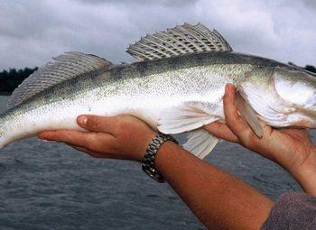 zbrojenie ryby