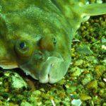 gładzica ryba