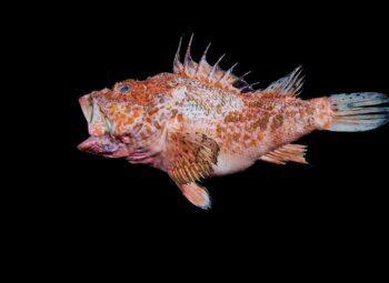 karmazyn ryba